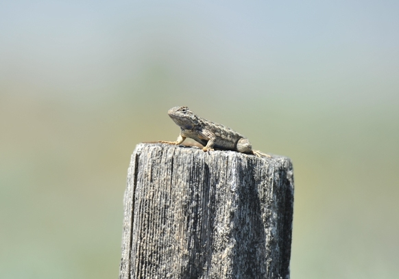 Sagebrush Lizard at BoulderCrest Ranch
