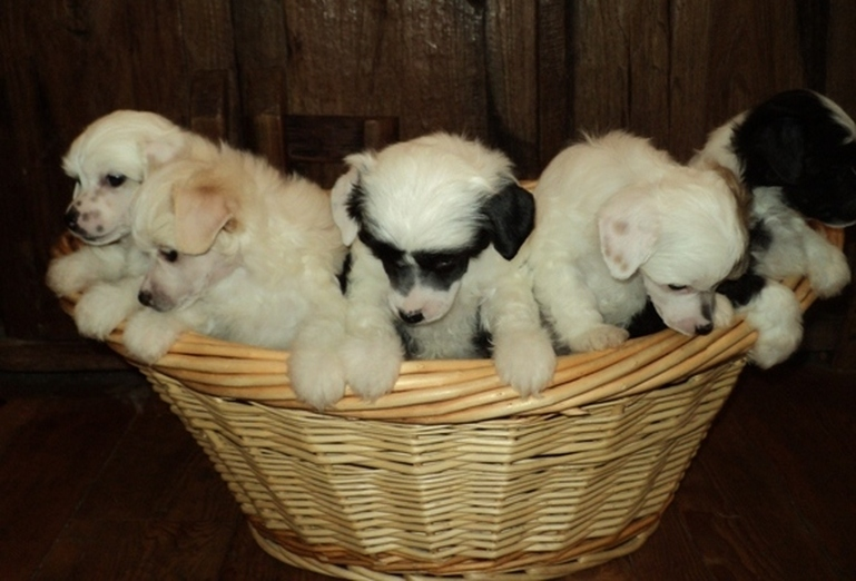 Basket of Puffs ~  Legacy Powderpuffs at BoulderCrest Ranch