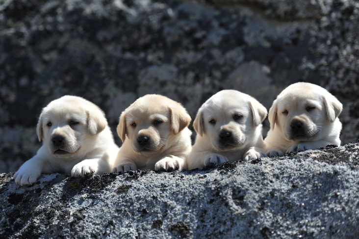 Stunning Legacy Labrador Puppies at 5 weeks old